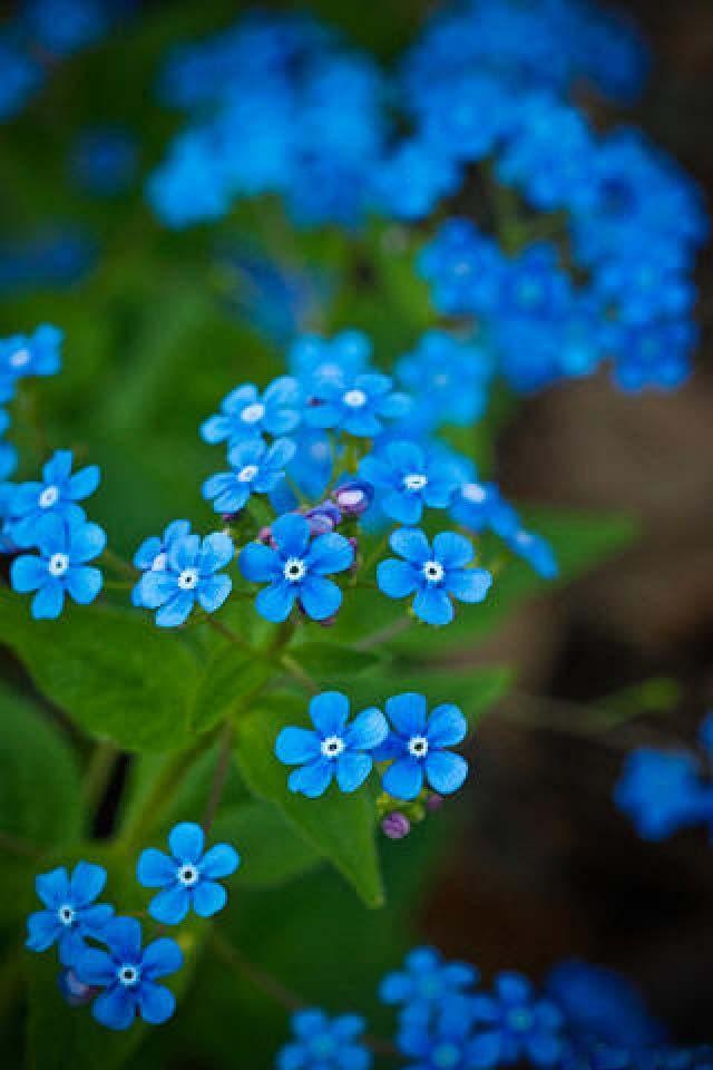 Hình ảnh điện Thoại đóa Hoa Màu Xanh đẹp Mắt