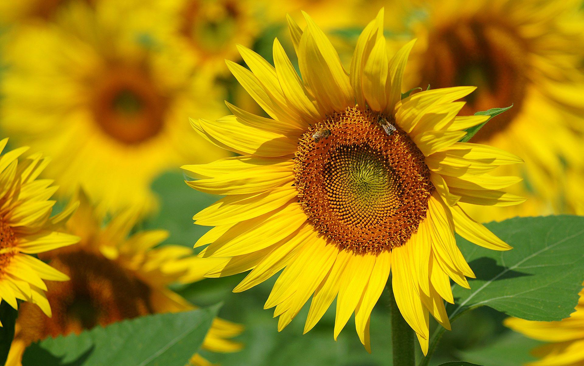 hình ảnh lẵng hoa hướng dương