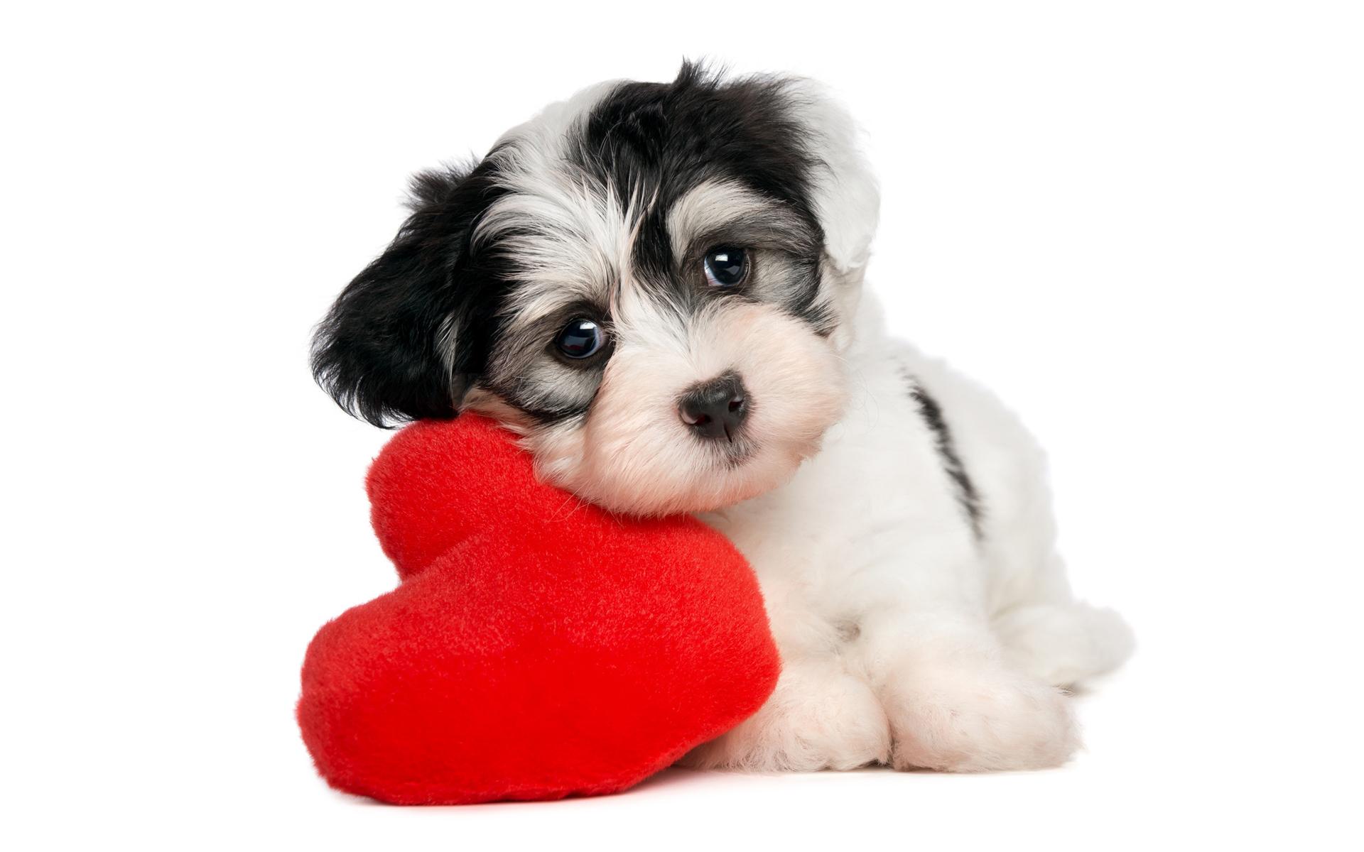 Ảnh nền động vật chó con dễ thương bên gối tim mềm mại